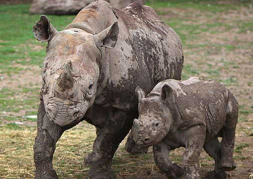 Most Amazing Recently Extinct Animals Western Black Rhinoceros