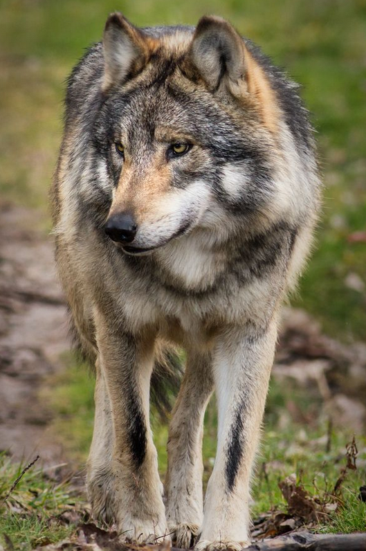 Mexican grey wolf - photo#6