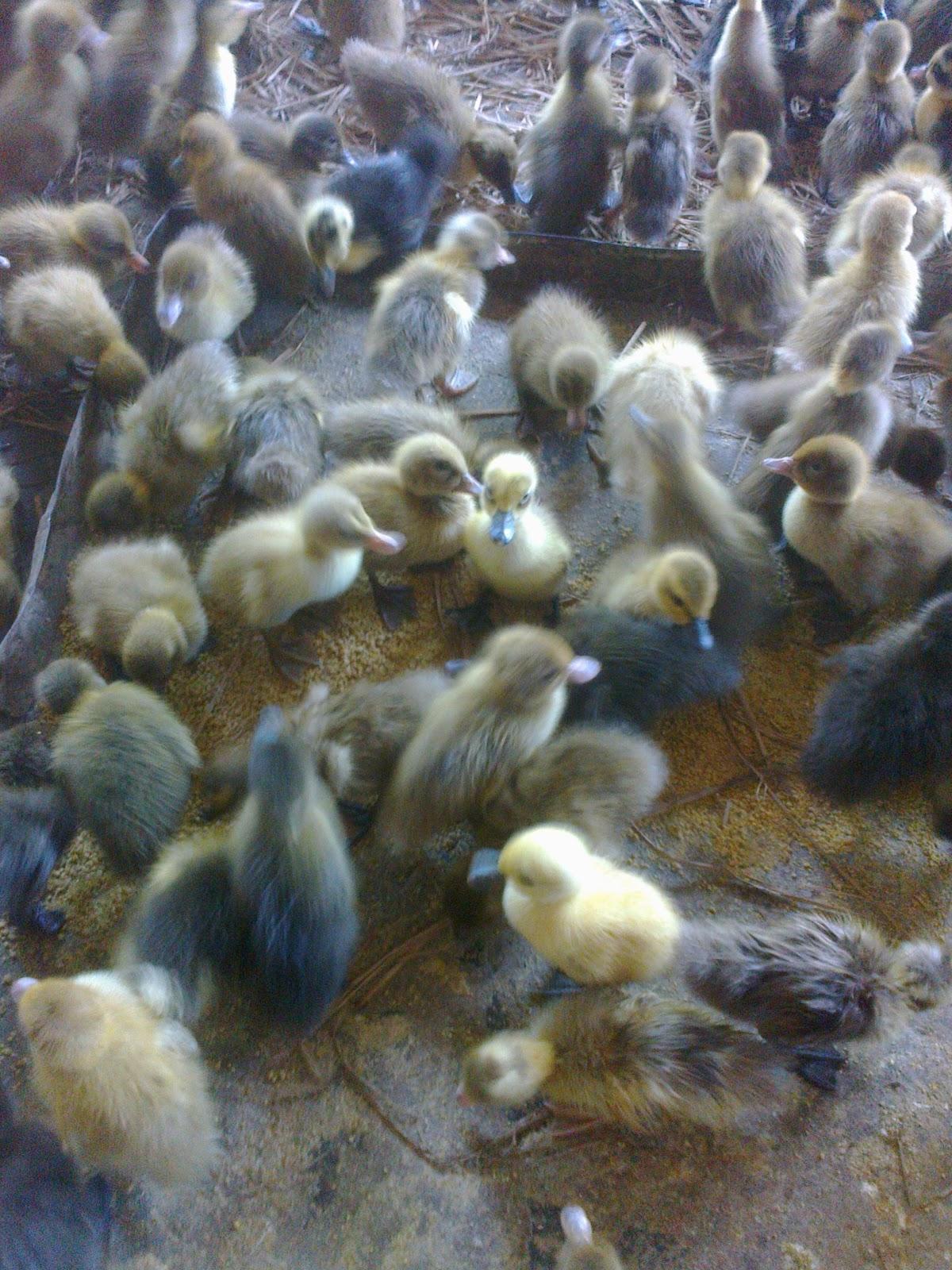 Kami Menjual Bibit Bebek Hibrida Asal Mojosari