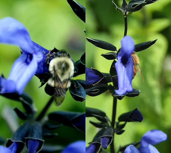 Bumble bee, Salvia 'Black and Blue'