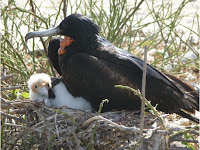 Frigate Bird with Chick, Genovesa Island, Galapagos