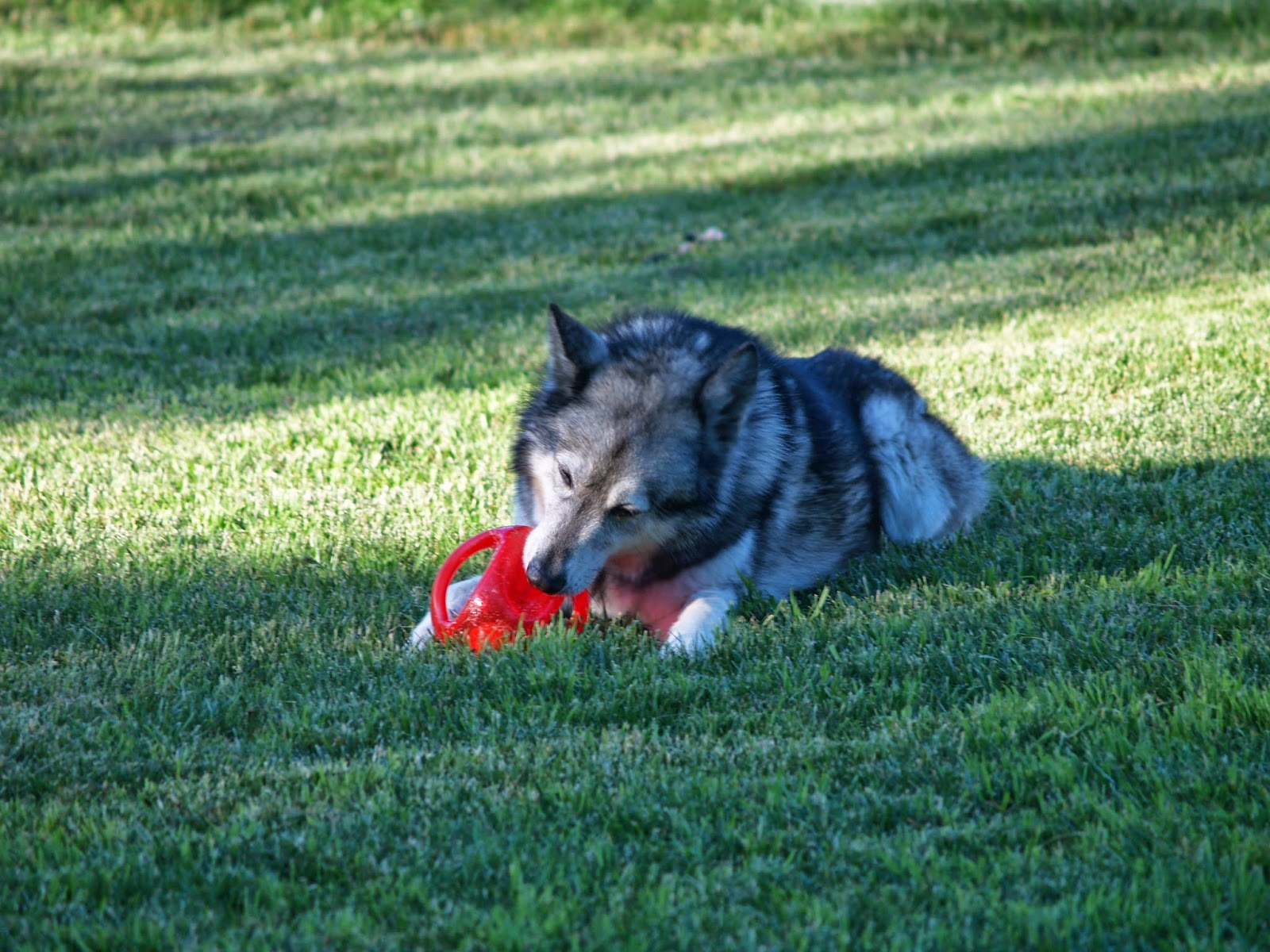 My Rotten Dogs I Love Interactive Dog Toys KONG Jumbler Review