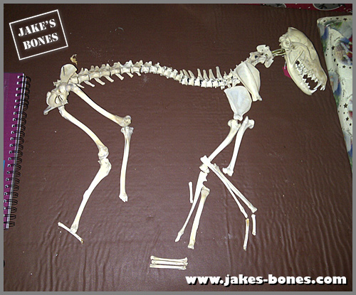How to re-articulate a fox skeleton: part one : Jake's Bones