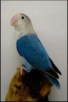 Lovebird pastel violet - photo#13