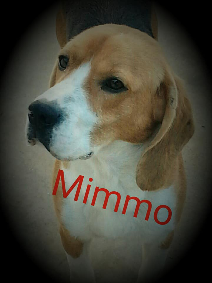 Mimmo beagle 4 anni
