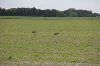 photo of two sand hill cranes