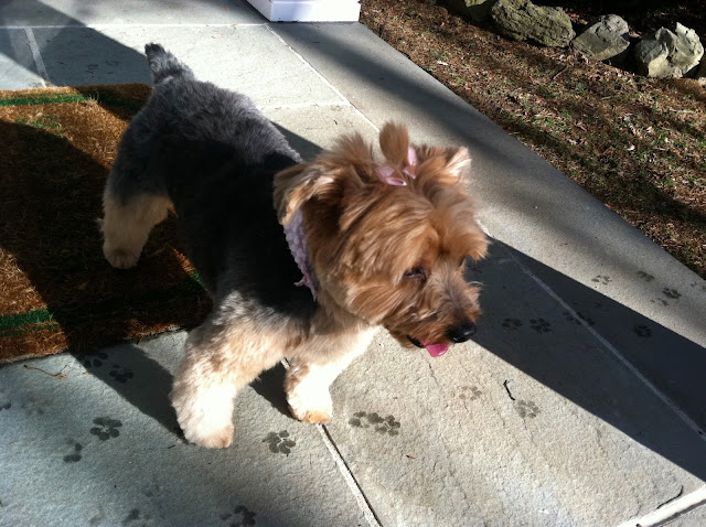 Priscilla-the-Yorkie-and-The-Westminster-Kennel-Club-Dog-Show