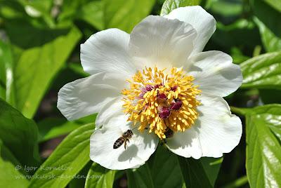 Пион Виттмана (Paeonia wittmanniana)