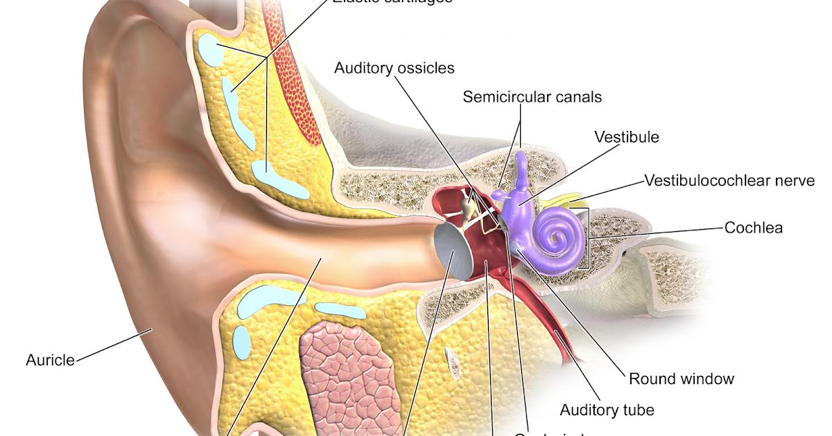 Weekly Anatomy - The Ear | Pulse Biology