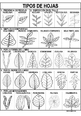 Metodos de la ciencia 2014 tipos de hojas y sus nombres for Tipos de suculentas y sus nombres