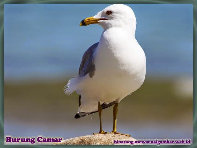gambar burung camar