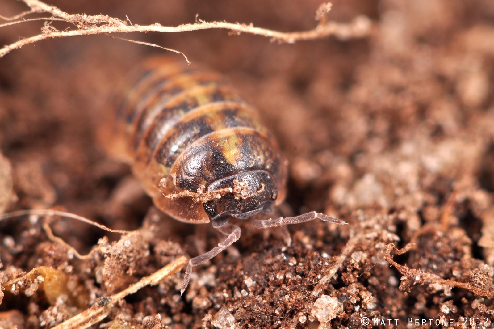 Giant Isopod Edible Isopods may nestle themselvesGiant Isopod Edible