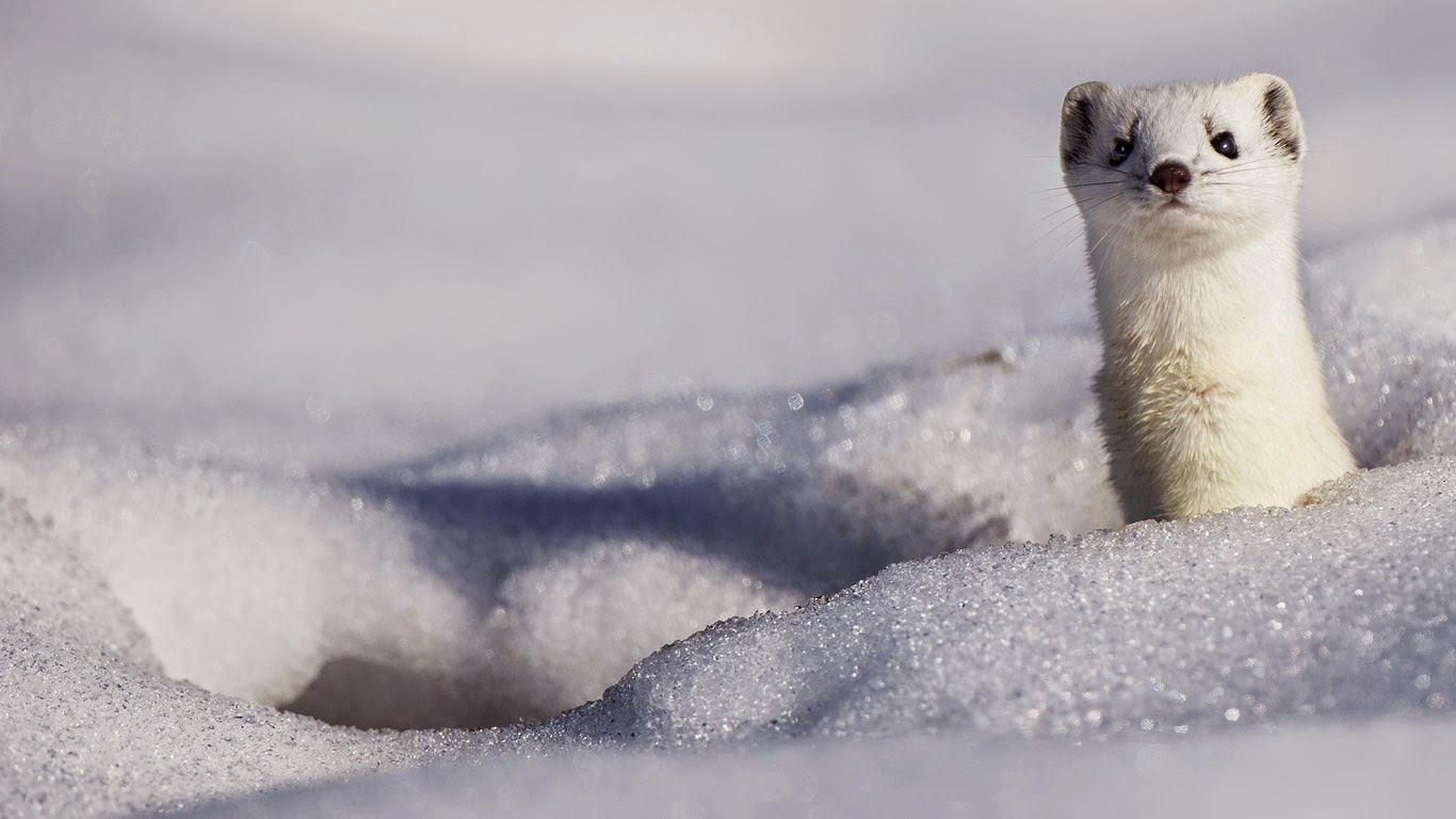 A stoat displaying its winter coat (© Berndt Fischer/age fotostock) 270