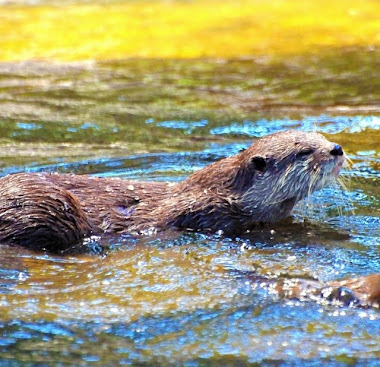 Asian Small-clawed Otter (Aonyx cinerea),