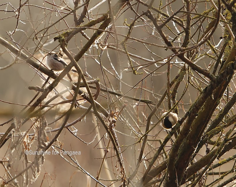 Long-tailed Tit and Marsh Tit in Germany