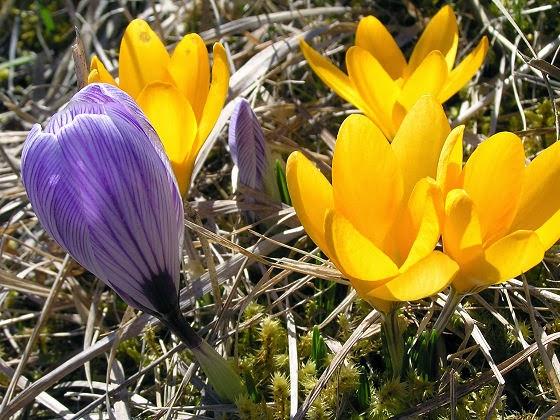 Jarní květy - krokusy