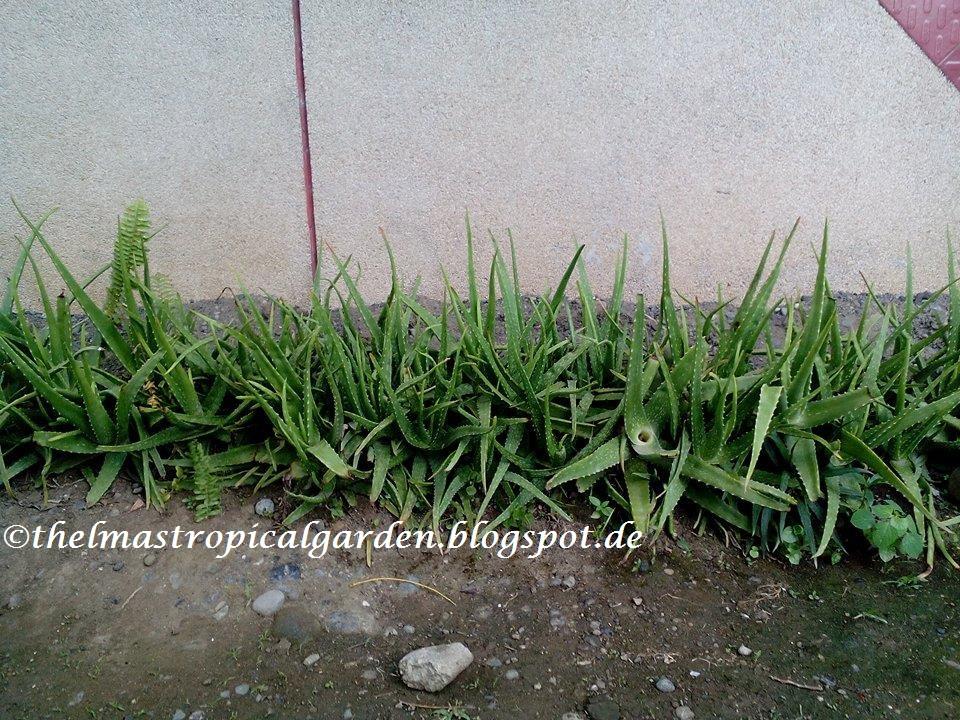 Thelma s tropical garden how i use aloe vera plant from my garden - Aloe vera plante utilisation ...