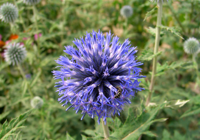Echinops Flowers Pictures