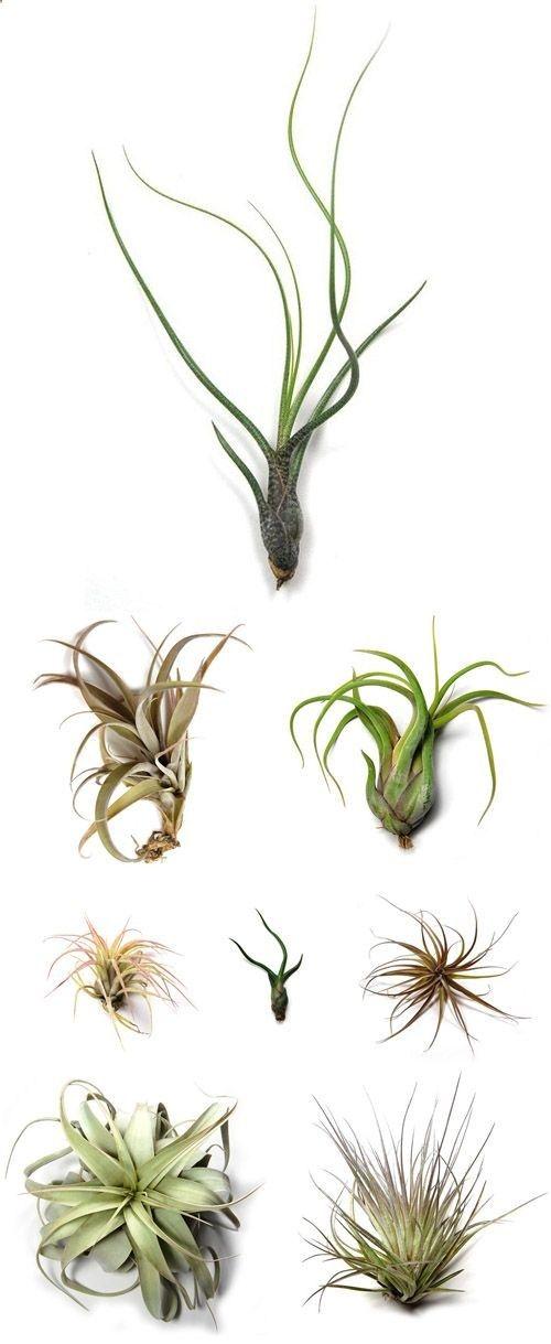 air plants eller tillandsia er en sjov plante der kan understrege den botaniske trend