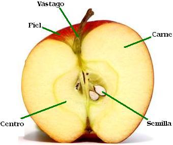 Manzana en la mitad indicando sus partes