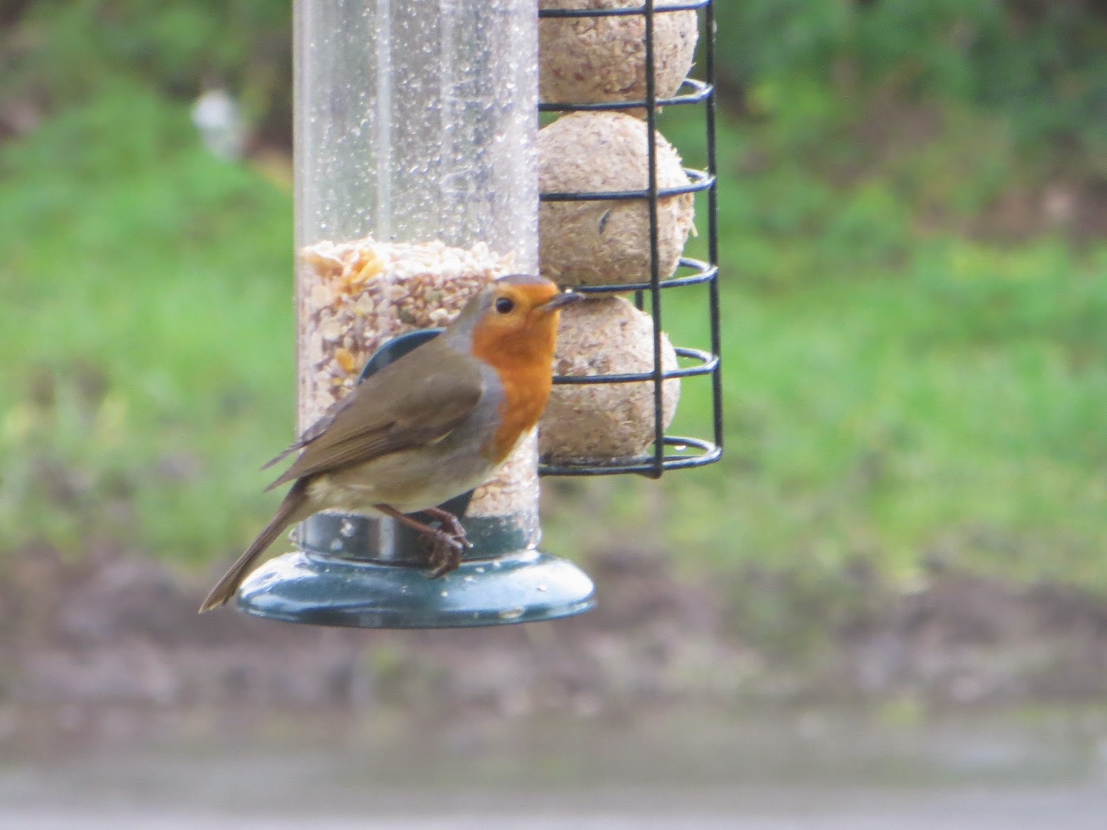 we all love the Robin Redbreast!!