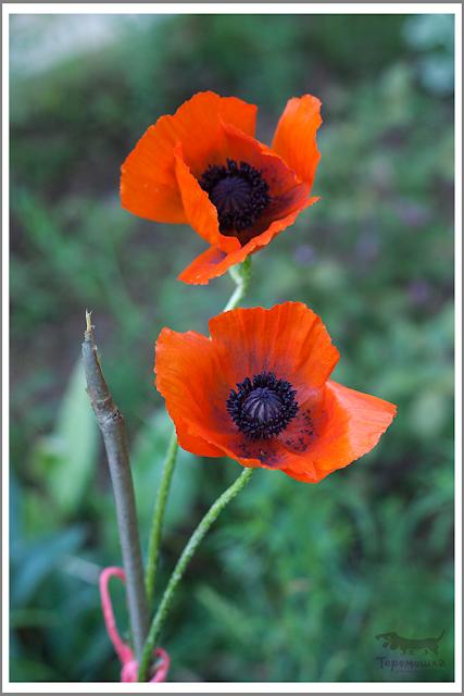 цветы мак