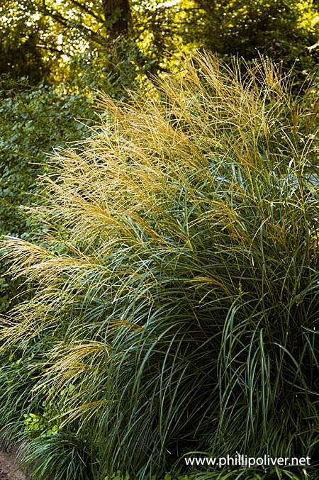 Ornamental grass adagio dirt therapy miscanthus sinensis adagio a smaller ornamental grass that grows to about 3 4 ft tall workwithnaturefo