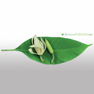 Pucuk Bunga Cempaka Untuk Obati Maag