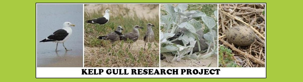 Kelp Gull Project