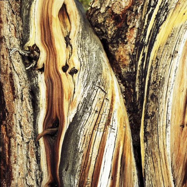 عينات '' لاقدم شجرة'' في العالم بالصور 4_bristlecone.img_assist_custom-600x600
