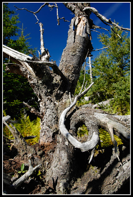 Nova Scotia. Gaff Point; Tree: Twist