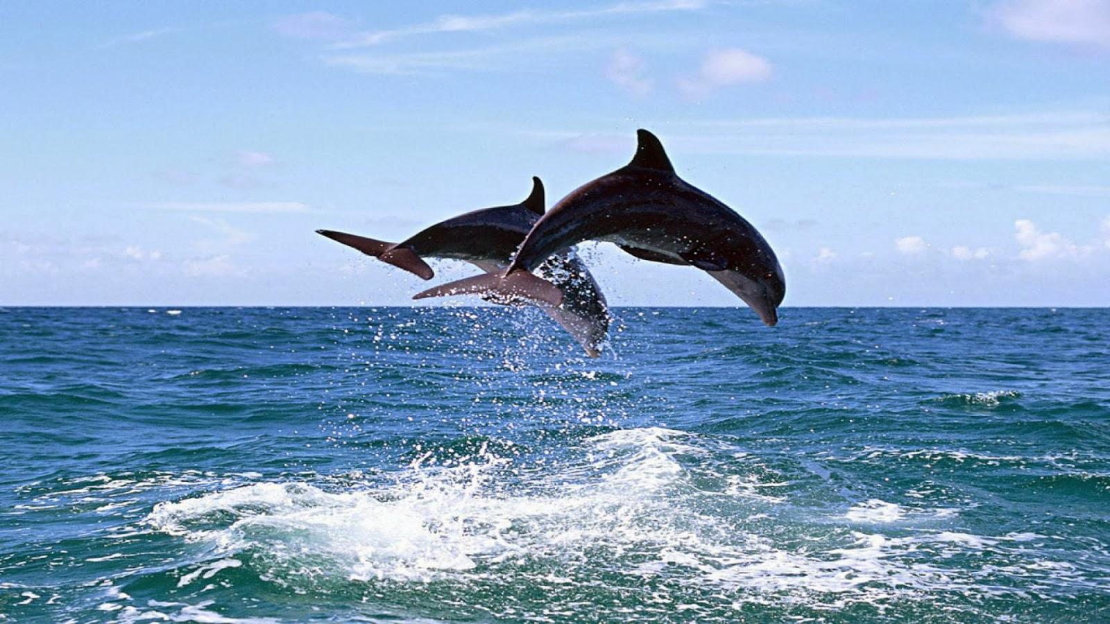 bottlenose dolphin wallpaper dolphins - photo #22