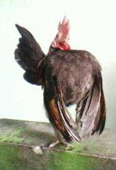 jenis ayam serama tipe ideal