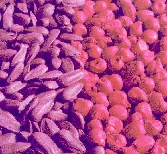 systèmes de semences de l'Afrique