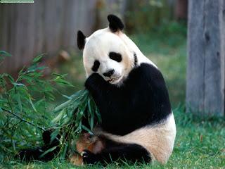 Wallpaper Pandas