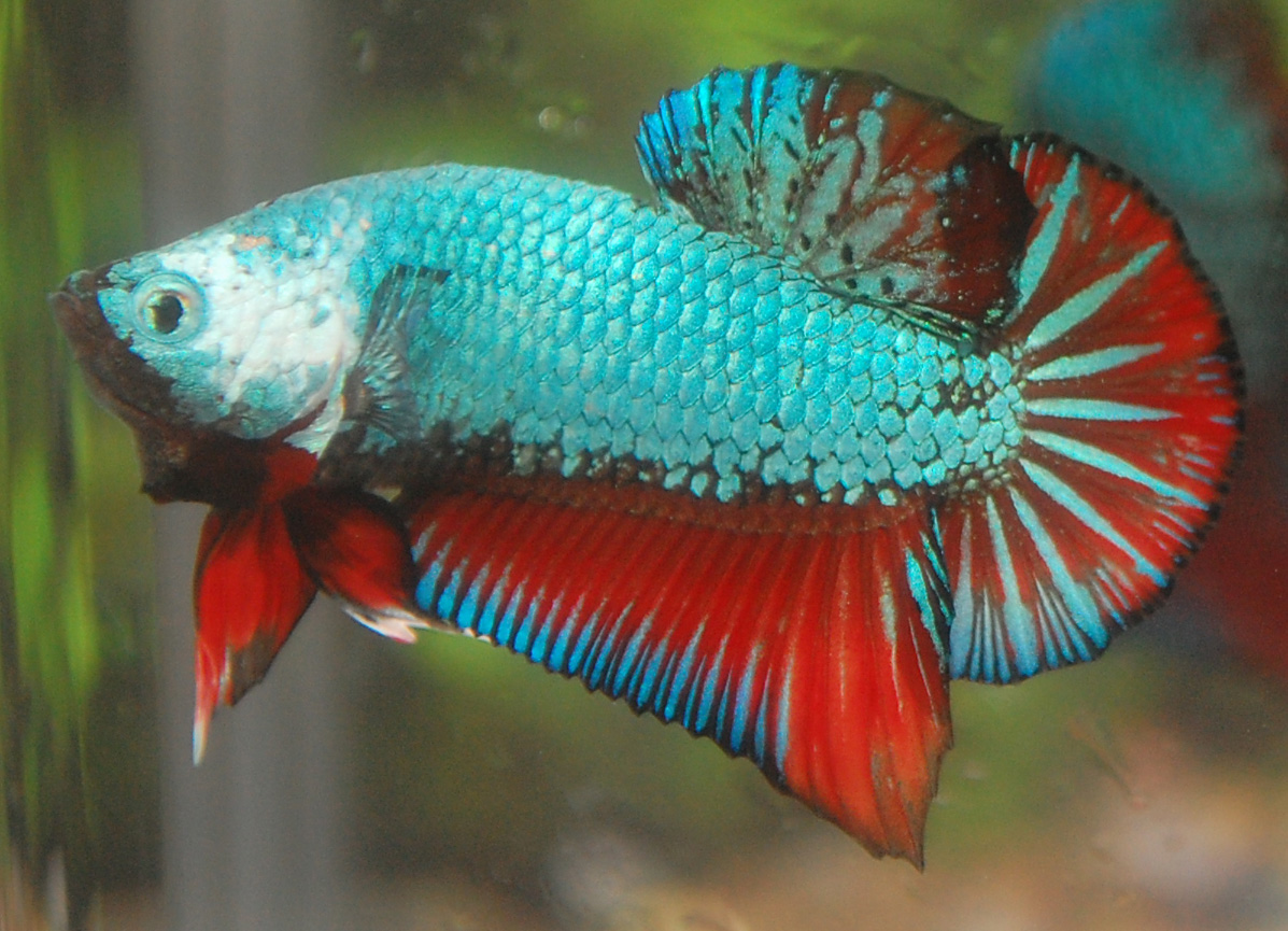 Betta fish afira betta sales mac 2012 for Betta fish sale