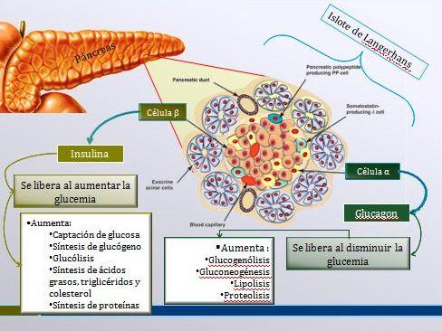 Fisiología Humana: Páncreas: Insulina y Glucagon