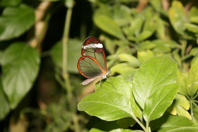 قمة الجمال في الفراشة ذات الأجنحة الزجاجية glasswing+butterfly+