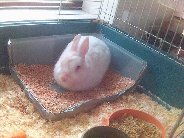 Netherland Dwarf Rabbits: How to litter train a Netherland dwarf