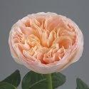 juliet garden rose for bridal bouquet