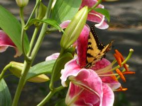 Stargazer Lily & Butterfly