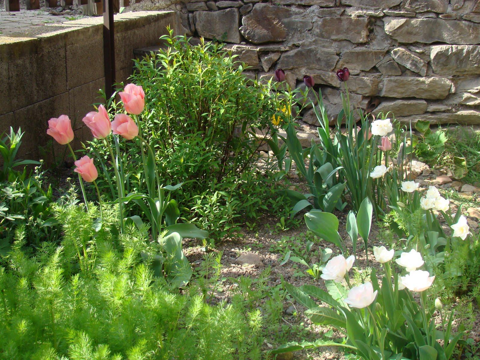 Le jardin de catherine les tulipes du jardin ce matin - Le jardin de catherine com ...