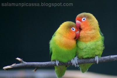 Suara Lovebird Masteran Ngekek Panjang