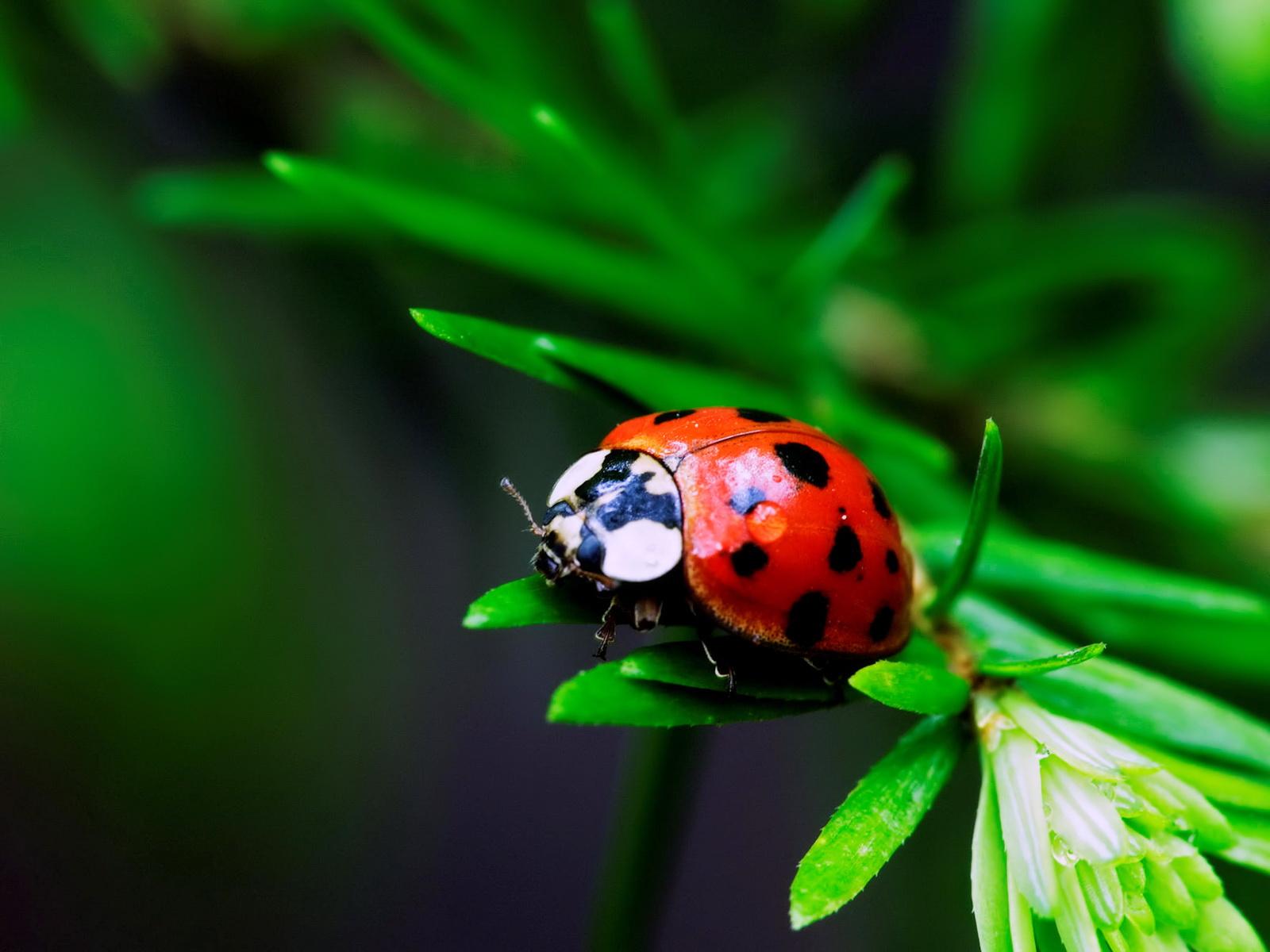 Beautiful Wallpapers Most Ladybug Photography