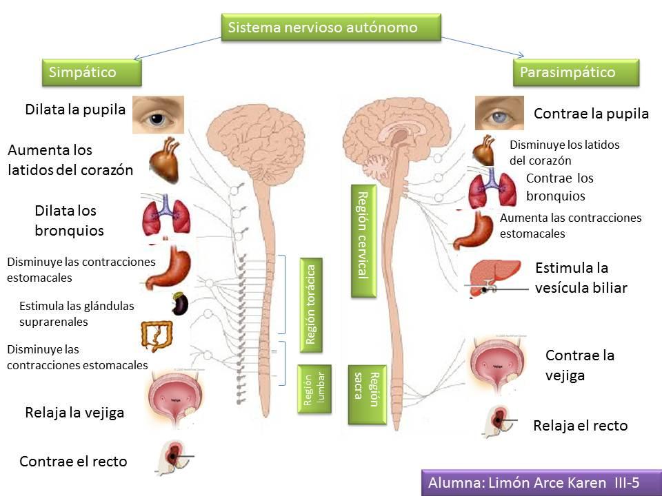 Fisiología de Limón: Sistema nervioso: simpático y parasimpático.