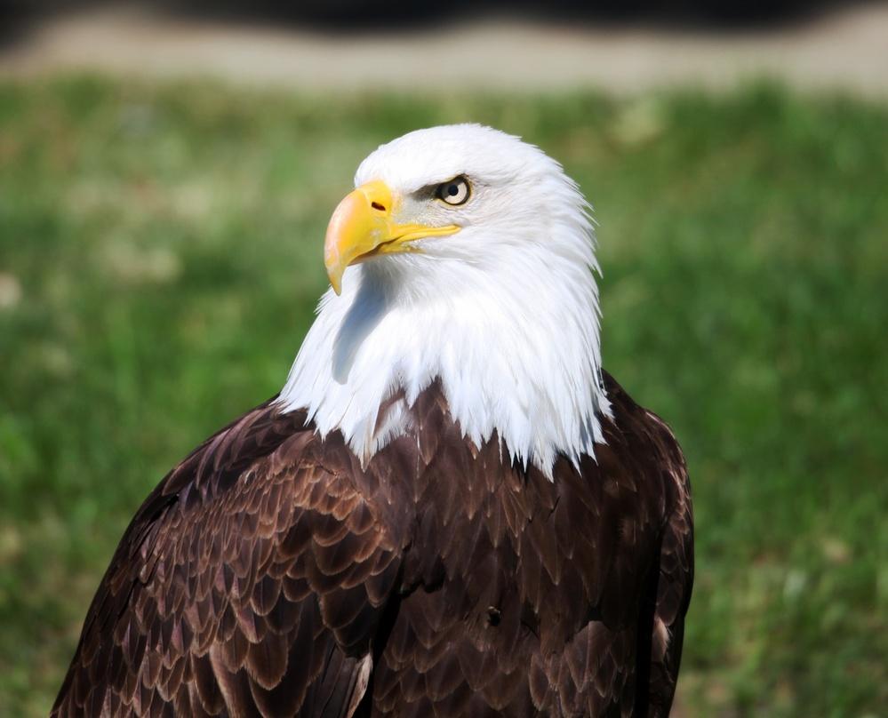 El águila de cabeza blanca americana | Águilas del mundo