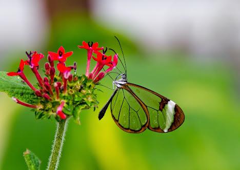 Kupu-kupu Sayap Kaca