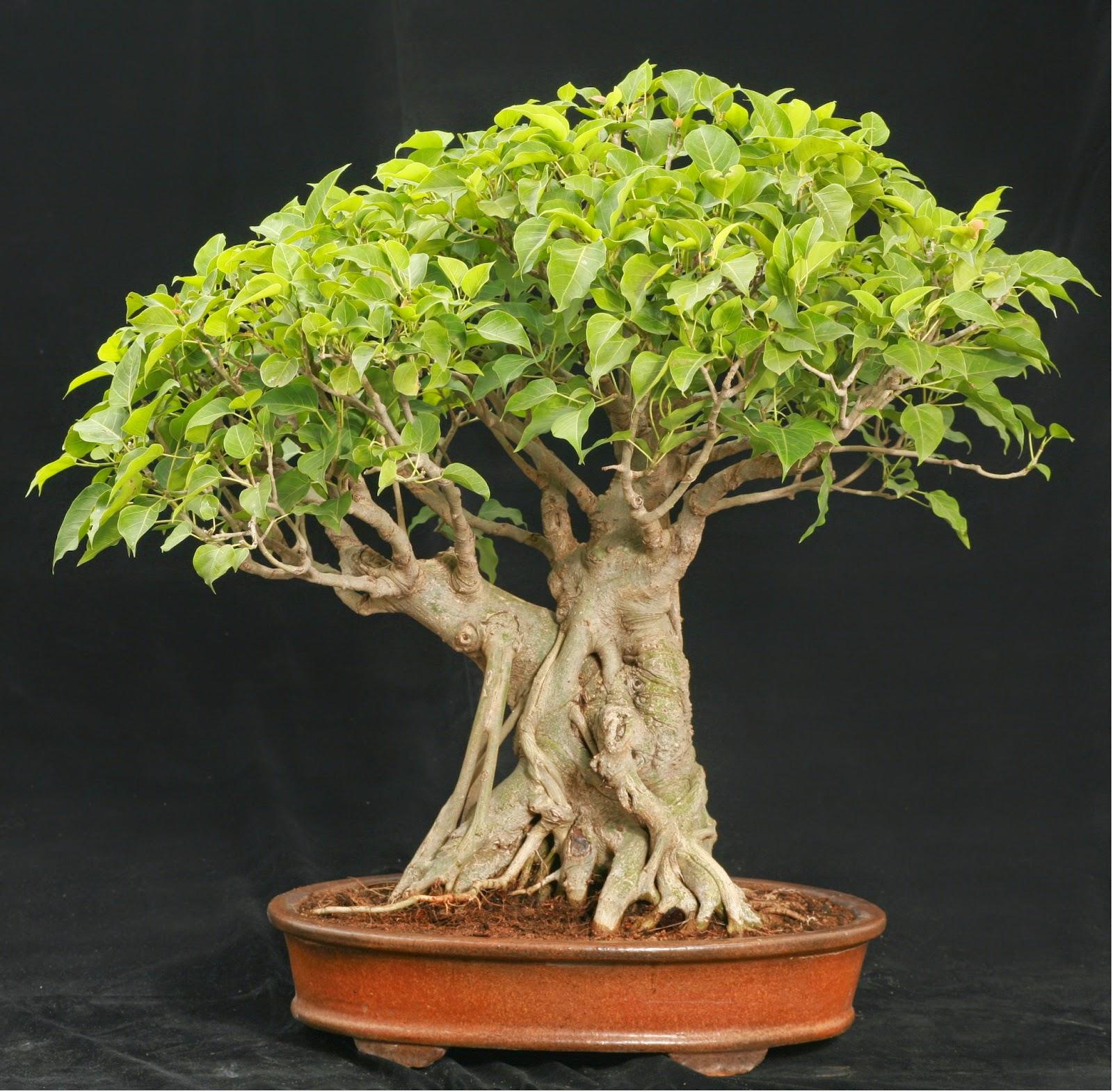 Dream Garden 3 FICUS Benghalensis