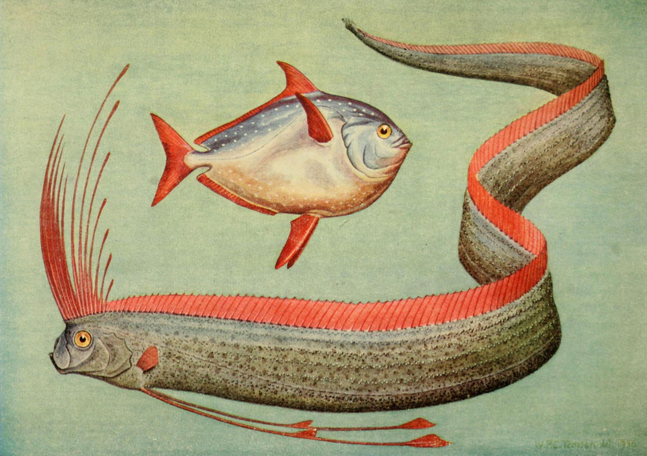 Oar Fish Pics http://fishology.blogspot.com/2012/08/oarfish.html