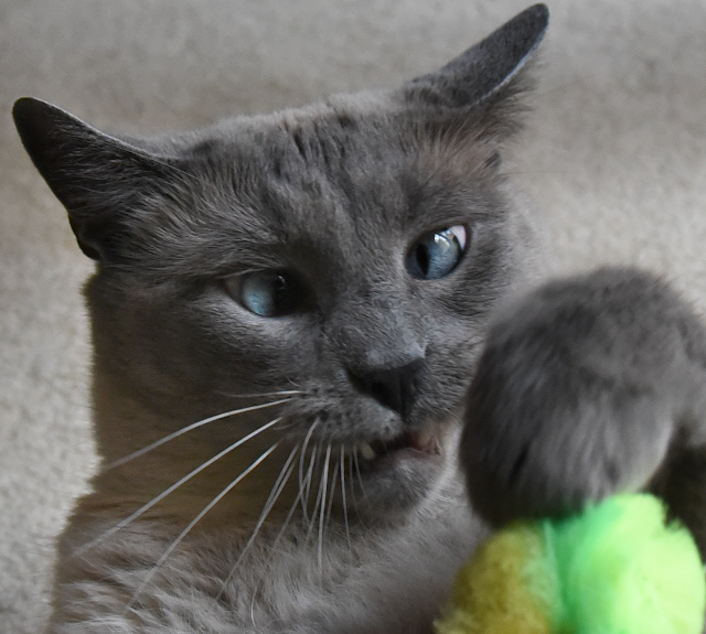 Maxwell attacks green toy. Handsome blue eyed siamese boy! #siamesecat #catplaying